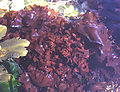Chondrus crispus.jpg