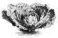 Chou Milan de Pontoise Vilmorin-Andrieux 1883.png