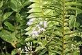 Chromolaena odorata Bioko Sur 2013.jpg