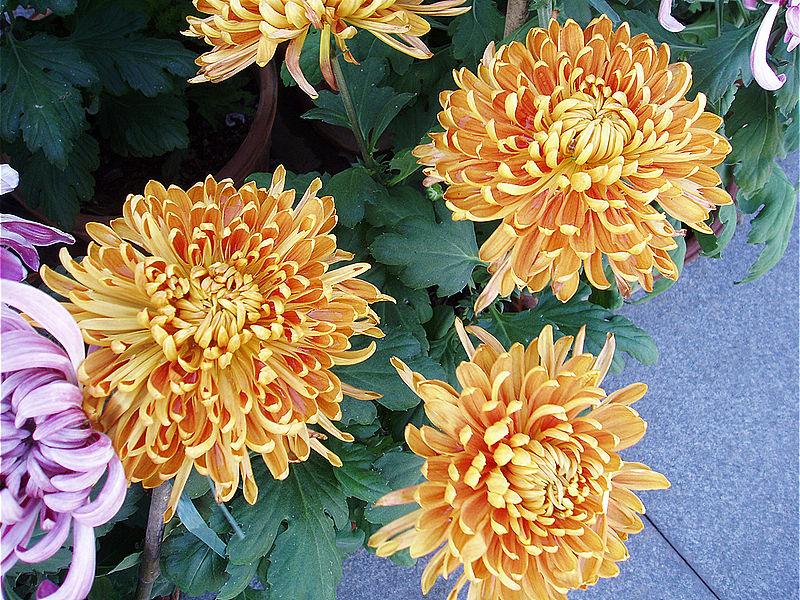 أحلى الألوان من زهور الأقحوان 800px-ChrysanthemumM