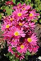 Chrysanthemum 'Rage Spray' in my Garden1.JPG