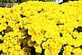Chrysanthemum Nancy 3zz.jpg