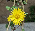 Chrysanthemum indicum 11012013.jpg