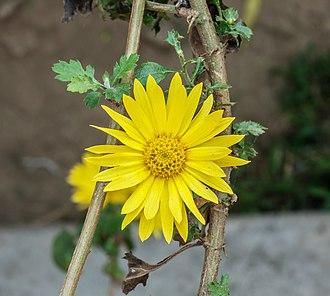 Chrysanthemum - C. indicum