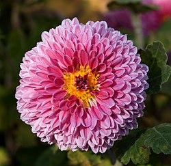 Chrysanthemum morifolium 08NOV.jpg
