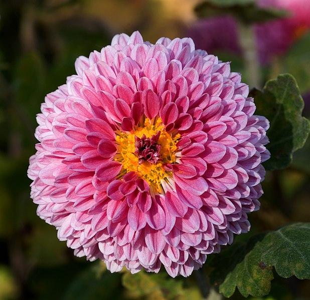 Chrysanthemum morifolium 08NOV; 池田正樹 (talk)masaki ikeda [Public domain]