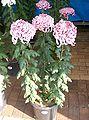 Chrysanthemum morifolium cv1.jpg