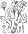 Chrysogonum virginianum-linedrawing.png