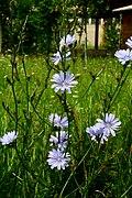 Cichorium intybus ENBLA05