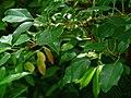 Cinnamomum camphora 002.JPG