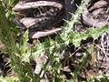 Cirsium canovirens (C. subniveum) (4045105319).jpg
