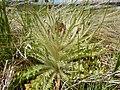 Cirsium scariosum - elk thistle - Flickr - Matt Lavin (2).jpg