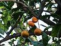 Citrus reticulata (DITSL).JPG