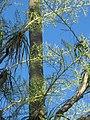 City Botanic Gardens Beaucarnea recurvata IMG 2710 (4040661599).jpg