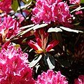 City of London Cemetery - deep pink rhododendron flower buds.jpg