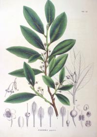 Cleyera japonica SZ81