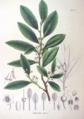 Cleyera japonica SZ81.png