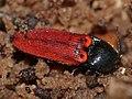 Click Beetle (Ampedus quercicola) hibernating in dead wood (13535760445).jpg