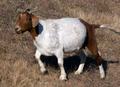 Close-up View of Goat (5716220917).png