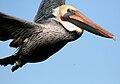 Close up of flying brown pelican.jpg