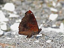 Close wing position of Rohana parisatis Westwood, 1850 – Black Prince (Male).jpg