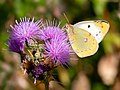 Clouded Yellow (45366662491).jpg