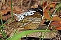 Clouded mother-of-pearl (Protogoniomorpha anacardii duprei) underside.jpg