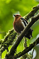 Club-winged Manakin - South Ecuador S4E8524 (16845196591).jpg