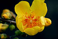 Cochlospermum religiosum - Yellow Silk-Cotton Tree (5478653421).jpg