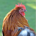 Cockerel (6371209231).jpg