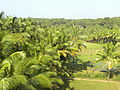Coconut trees and paddy field 01.JPG