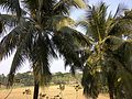 Coconut trees of Bangladesh 01.jpg