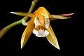 Coelogyne candoonensis Ames, Schedul. Orchid. 6 18 (1923) (42475714712).jpg