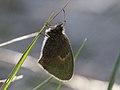 Coenonympha pamphilus (Nymphalidae) (14921935166).jpg