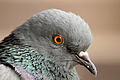 Columba livia (Madrid, Spain) 001.jpg