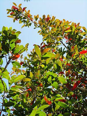 Combretum kraussii - C. kraussii winter foliage