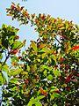 Combretum kraussii, winterlower, Louwsburg.jpg