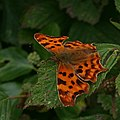 Comma Butterfly - geograph.org.uk - 214451.jpg