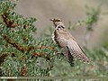 Common Cuckoo (Cuculus canorus) (48641168683).jpg