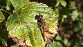 Common Darter dragonfly (10207765763).jpg