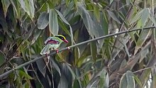 Common Green Magpie Mahananda Wildlife Sanctuary West Bengal India 07.12.2015.jpg