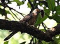 Common Hawk Cuckoo I IMG 7711.jpg