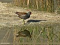 Common Moorhen (Gallinula chloropus) (28644595256).jpg