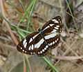 Common Sailor. Neptis hylas. Nymphalidae - Flickr - gailhampshire.jpg