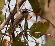 Common Woodshrike (Tephrodornis pondicerianus) in Kinnarsani WS, AP W IMG 5767.jpg
