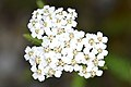 Common Yarrow (Achillea millefolium) - MacGregor Point Provincial Park.jpg