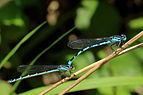 Common blue damselflies (Enallagma cyathigerum) (homochrome female) in tandem.jpg