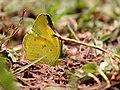 Common grass yellow IMG 9987.jpg