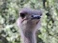 Common ostrich, iran شترمرغ در ایران 07.jpg