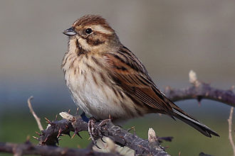 Common reed bunting - Female – Both at Otmoor, Oxfordshire